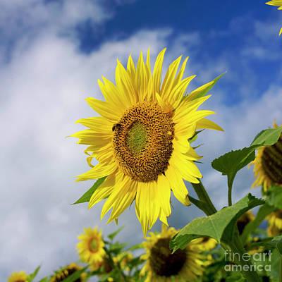 Close Up Of Sunflower Print by Bernard Jaubert