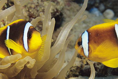 Clown Pair Photograph - Clown Fish by Alexis Rosenfeld