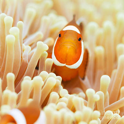 Amphiprion Ocellaris Photograph - Clownfish by MotHaiBaPhoto Prints