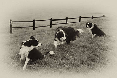 3 Collies Art Print by Miguel Capelo