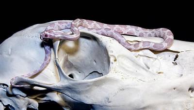 Photograph - Corn Snake by David Lester