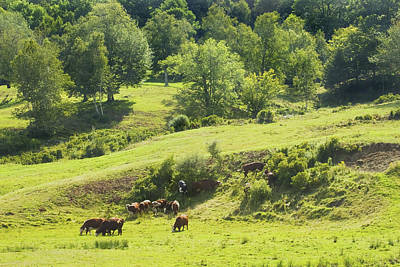 Maine Meadow Photograph - Cows Grazing On Grass In Farm Field Summer Maine by Keith Webber Jr