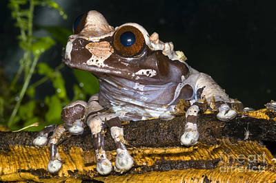 Photograph - Crowned Tree Frog by Dante Fenolio