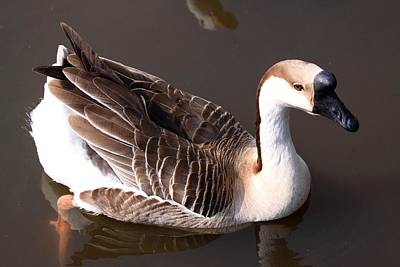 Photograph - Duck by Jeanne Andrews