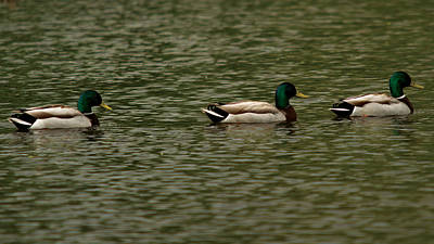 Photograph - 3 Ducks by Josef Pittner