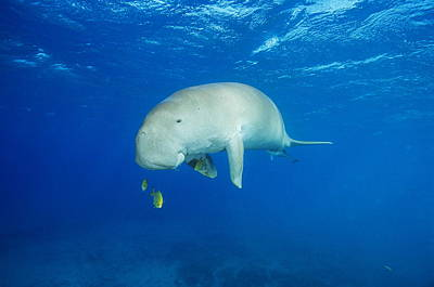 Remoras Photograph - Dugong, Remora And Golden Trevallies by Alexis Rosenfeld
