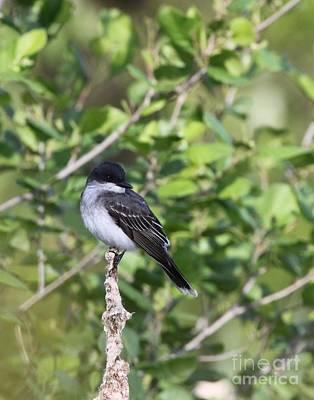 Photograph - Eastern Kingbird by Jack R Brock
