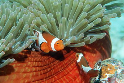 Clown Pair Photograph - False Clown Anemonefish by Georgette Douwma