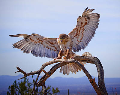 Photograph - Ferriginous Hawk by Dan Nelson