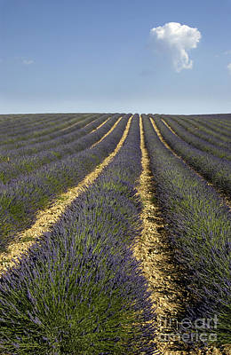 Field Of Lavender. Provence Art Print