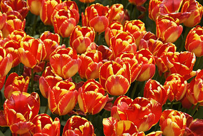 Photograph - Flaming Tulips by Michele Burgess