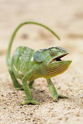 Flap-necked Chameleon Art Print by Georgette Douwma