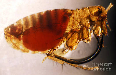 Bubonic Plague Photograph - Flea Infected With Plague by Science Source