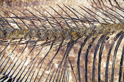 Fossilised Fish Art Print by Lawrence Lawry