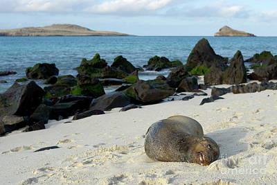 Galapagos Sea Lion Sleeping On Beach Art Print by Sami Sarkis