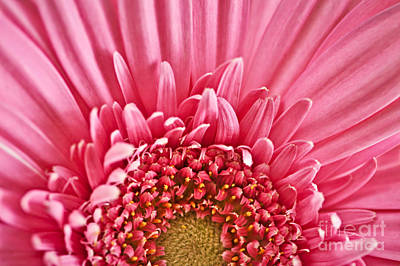 Salmon Photograph - Gerbera Flower by Elena Elisseeva