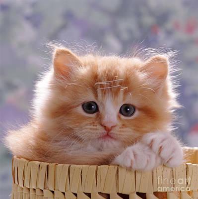 Animal Portraiture Photograph - Ginger Kitten by Jane Burton