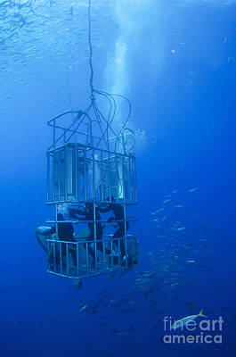 Cage Diving Photograph - Great White Shark And Divers, Guadalupe by Todd Winner