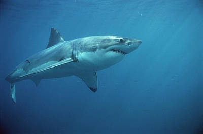 Reef Shark Photograph - Great White Shark Carcharodon by Mike Parry