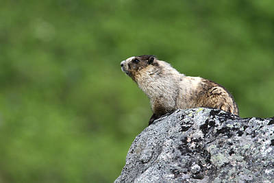 Photograph - Hoary Marmot by Doug Lloyd