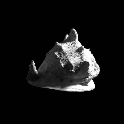 Photograph - Horned Helmet Seashell Cassis Cornuta by Frank Wilson