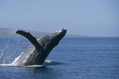 Mar2713 Photograph - Humpback Whale Breaching Maui Hawaii by Flip Nicklin