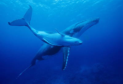 Water Filter Photograph - Humpback Whales by Alexis Rosenfeld