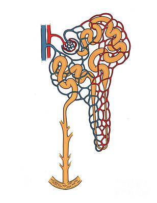 Illustration Of Nephron Art Print