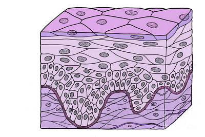 Illustration Of Stratified Squamous Art Print by Science Source