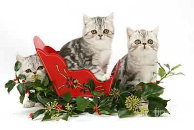 Kittens In A Miniature Sled Art Print by Jane Burton
