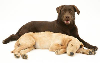 Labradoodle And Labrador Retriever Print by Jane Burton