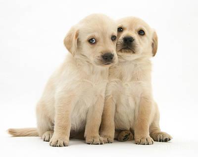 Labrador Retriever Puppies Art Print by Jane Burton