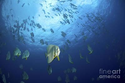 Ephippidae Photograph - Large School Of Batfish, Christmas by Mathieu Meur