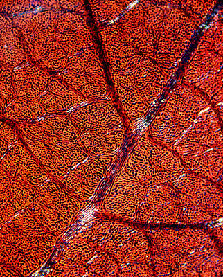 Leaf Anatomy, Light Micrograph Art Print