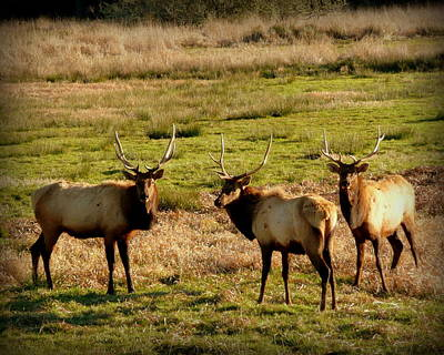 3 Magnificent Bull Elk Art Print by Cindy Wright
