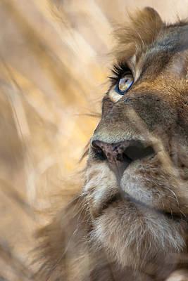 Male Lion Art Print by Hein Welman