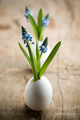 Photograph - Muscari by Kati Finell