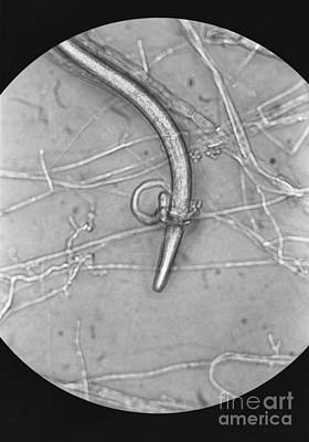 Nematode Snared By Predatory Fungus Lm Art Print by Photo Researchers, Inc.