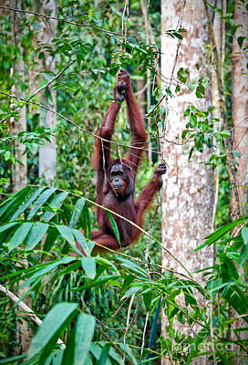 Photograph - Orangutang In Rainforest by Gualtiero Boffi