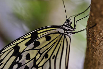 Photograph - Paper Kite Butterfly by Perla Copernik