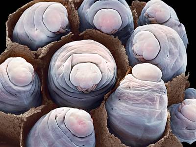 Wasp Nest Photograph - Paper Wasp Larvae, Sem by Steve Gschmeissner