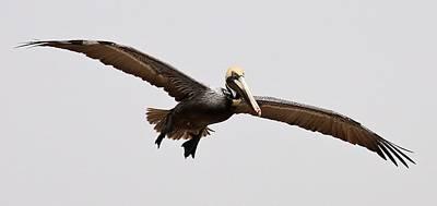 Pelican Wings Art Print by Paulette Thomas