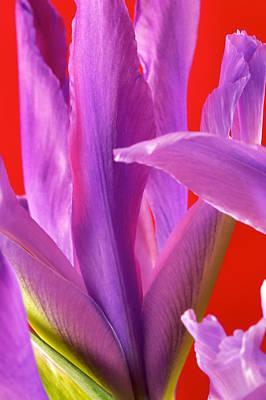 Art Print featuring the photograph Photograph Of A Dutch Iris by Perla Copernik