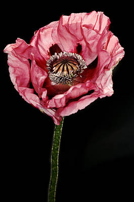 One Single Pink Poppy Flower Photograph - Poppy (papaver Sp.) by Lawrence Lawry