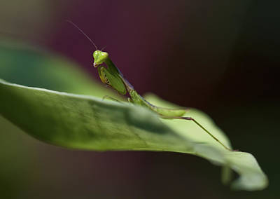 Photograph - Praying Mantis by Zoe Ferrie