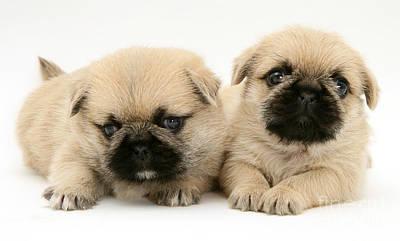 Pugzu Puppies Art Print by Jane Burton