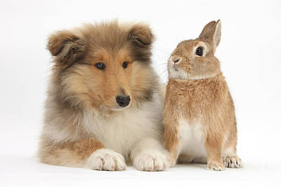 Rough Collie Pup With Rabbit Art Print by Mark Taylor