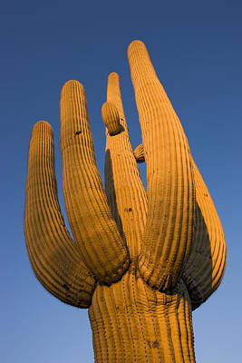 Photograph - Saguaro Carnegiea Gigantea Cactus by Ingo Arndt