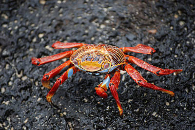 Photograph - Sally Lightfoot Crab by Harvey Barrison
