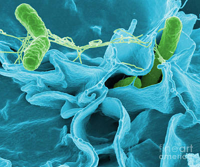 Photograph - Salmonella Bacteria by Science Source